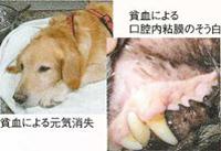 犬バベシア症